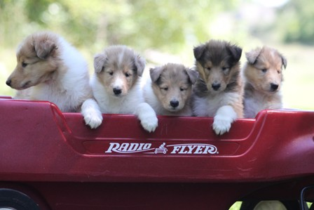 2012 Sable and White Collie Puppy LItter