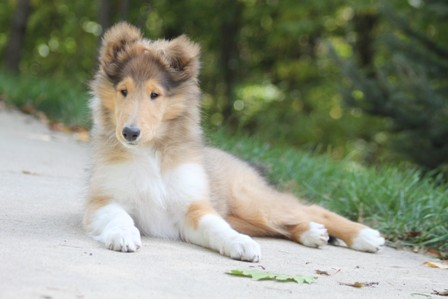 Sable and White Rough Female Collie Puppy