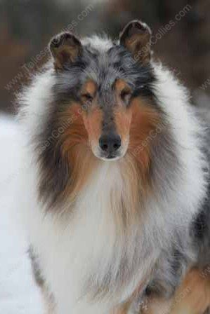WM_Blue_Merle_Male_Rough_Collie_Gryffin_01-30-11_13
