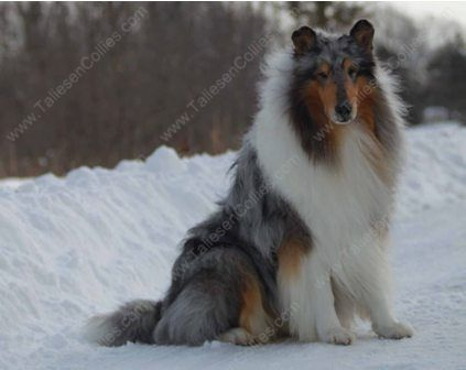 WM_Blue_Merle_Male_Rough_Collie_Gryffin_01-30-11_14