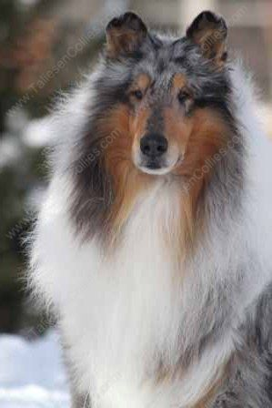 WM_Blue_Merle_Male_Rough_Collie_Gryffin_01-30-11_35