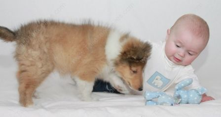 WM_Gallery_01-01-11_Sable_and_White_Female_Puppy_8_weeks_and_Baby2