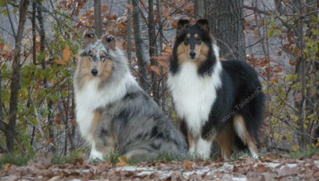 Blue Merle and Tri Color Rough Female Collies