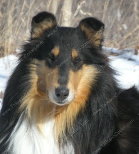 Tri Color Rough Female Collie