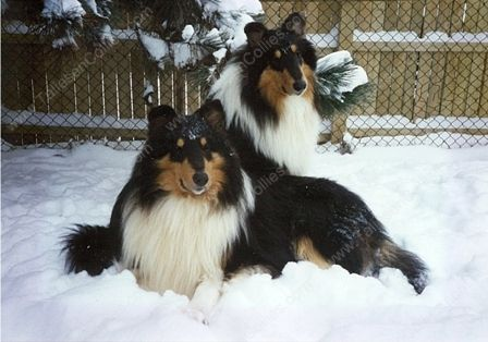 two tri color rough male collie who were littermates