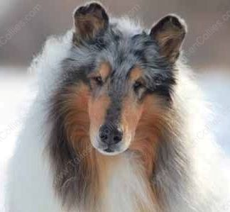 WM_Our Collies_Blue_Merle_Male_Rough_Collie_Gryffin_01-30-11_43