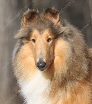 Sable and White Rough Female Collie