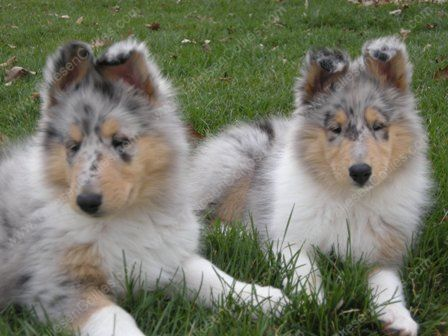 Collie Puppies on Rough Collie Puppy  Rough Collie Puppies  Collie Puppy  Collie Puppies
